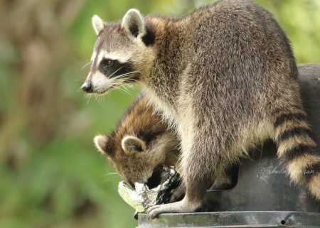 animals raccoons weasels friends - photo #5