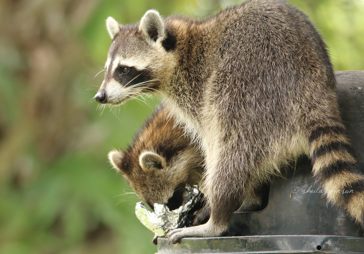 You Know That Quote About Being In Jail Next To Your Best Friend? We're Pretty Sure It Applies To These Raccoon Buddies. Here, They're Seen Making Their Daily Run At Rivergate Park In Port St. Lucie, Florida.