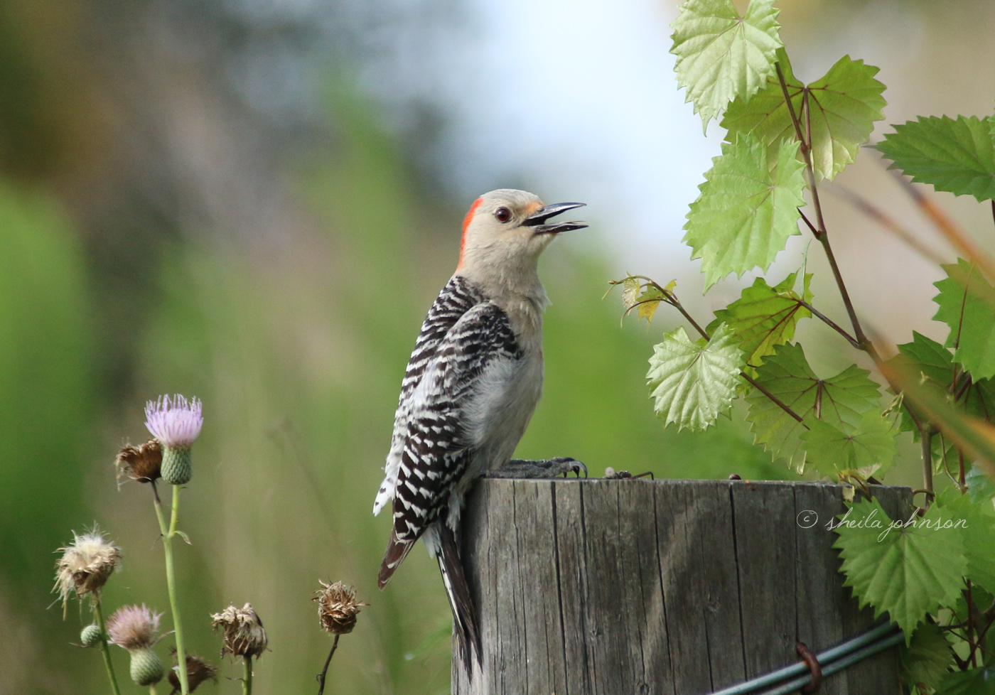 A Female Red-Bellied Woodpecker Warns Off All Visitors Because She Has A Nest Nearby.