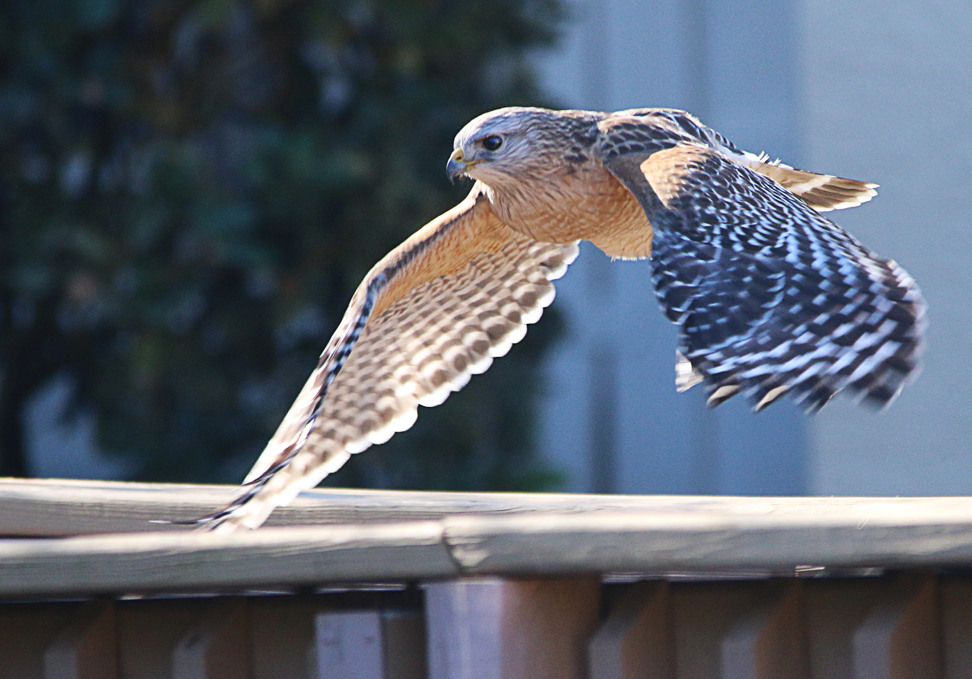 This Red-Shouldered Hawk Spent An Hour Or So In The Back Yard. It's Only Find Was A Juicy Worm Which Seemed A Bit Small To Me. Apparently, He Agreed, As He Went Off To More Fruitful Feeding Grounds.