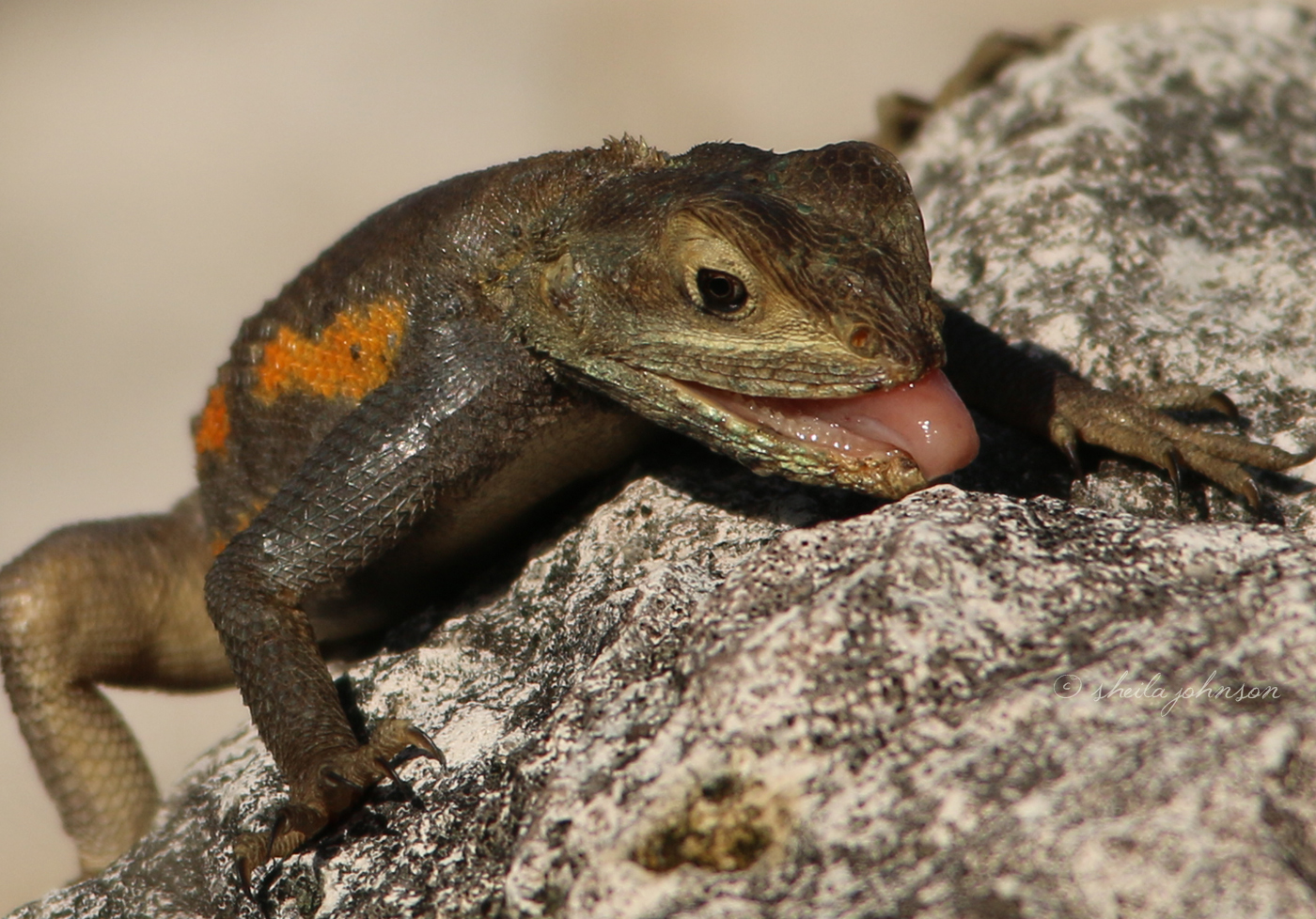 From What I Can Tell, The Agama Lizard Isn't One Of Those Creatures Which Eats Rocks To Aid In Digestion, So We Can Only Guess This One Is Licking Up A Bug. Yum! Or Not.
