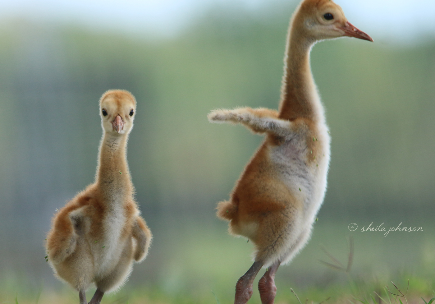One Juvenile Sandhill Crane Seems To Wonder What This Thing Is Pointing At Him (Or Her) While His Sister (Or Brother) Tries Out Little Wings. Their Wingspans Will Eventually Grow To About 5.5 To 7.5 Feet.