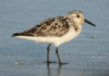 Sandpipers Must Surely Be The Happiest Little Birds On The Shore. We Found This One Scurrying In And Out Of The Surf At The Bathtub Beach, Jensen Beach, Florida.