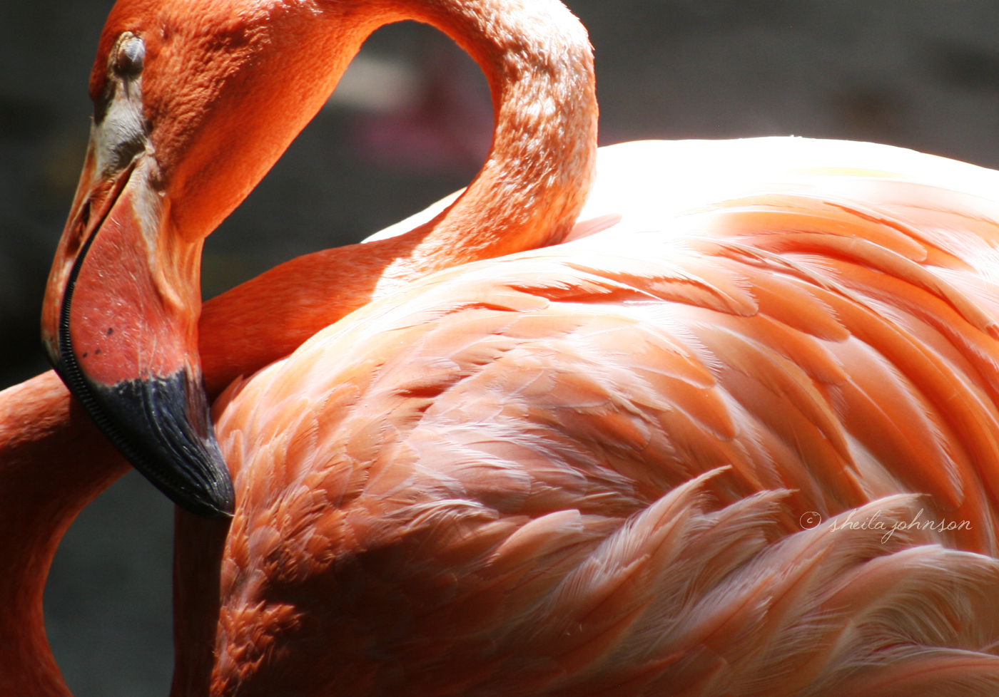 Not Much Is Prettier Than The Pink Fluff Of The Flamingo. From Palest Of Pinks To Bright, Coral Shades, The Pink Pigment In Feathers Is Caused By The Flamingos' Primary Dietary Staple: Shrimp!