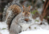 Pretty As A Picture, This Squirrel Certainly Believes Nuts Will Be The Reward Of Posing In The Snow. Sorry, Snow Bunny, I've Got No Nuts.