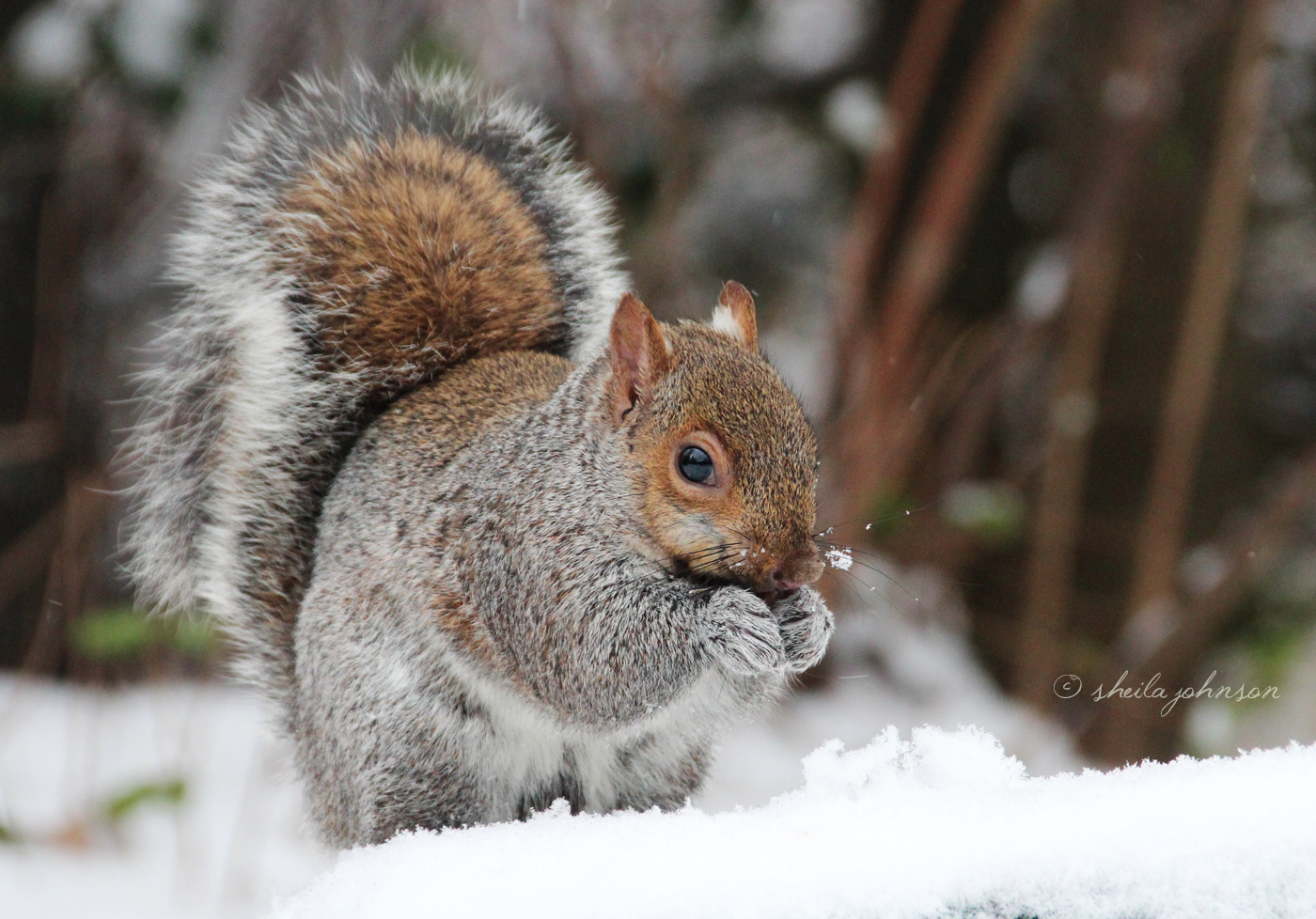 Snow Is No Deterrent To A Squirrel Seeking Nuts Left Behind By Mariner Park Patrons. Think The Postman Delivers Through Sleet, And Snow? Nothing Stops The Mariner Park Walkers!