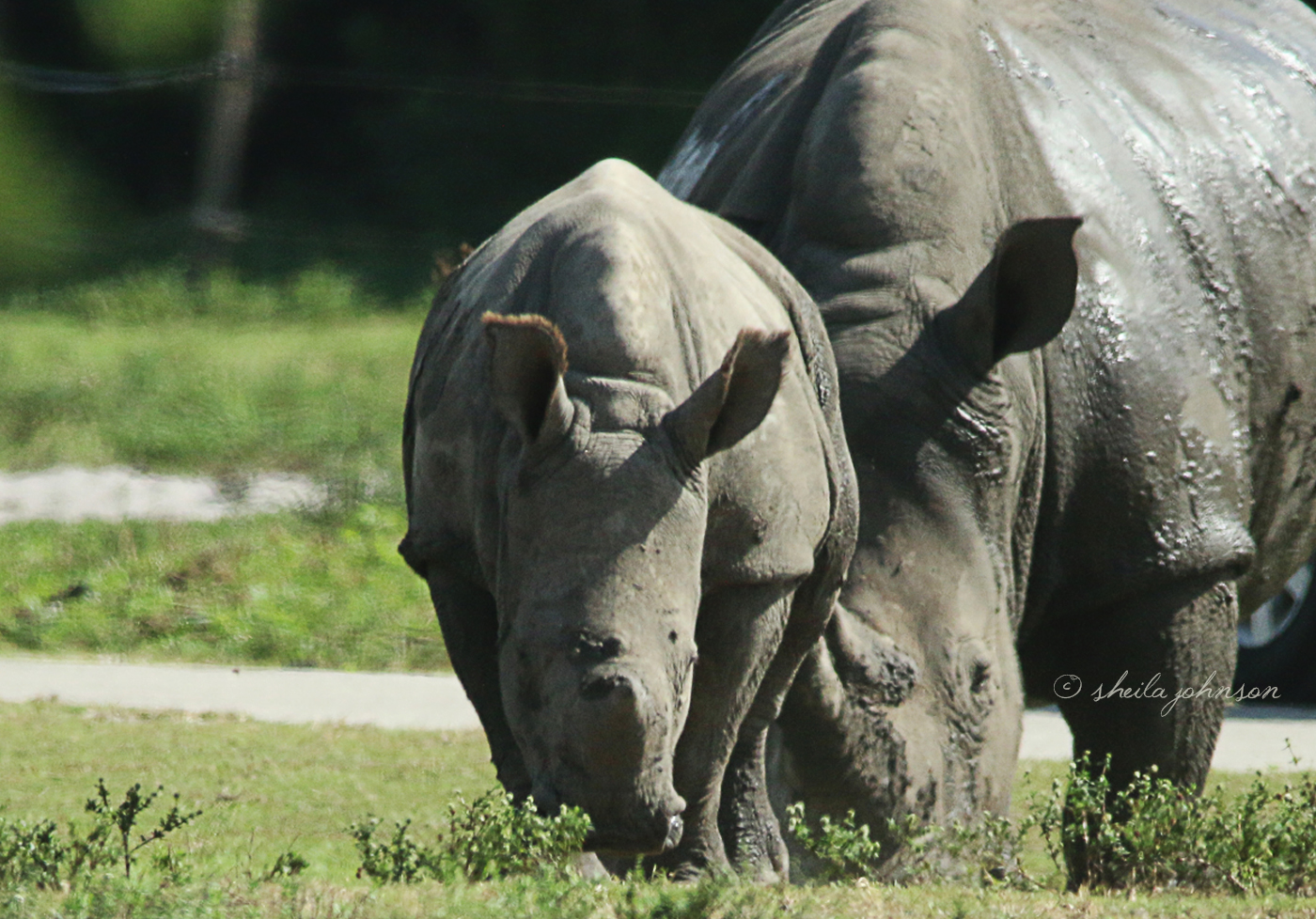 The Southern White Rhinoceros At Lion Country Safari Are Part Of The Species Survival Plan, And This Baby Is One Small Step Toward Getting This Rhino Species Removed From The Threatened List.