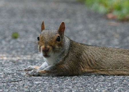 Sprawling on shaded asphalt hits the spot in the heat of a Maryland summer. This Gray Squirrel takes advantage of a low-traffic area for just that purpose.