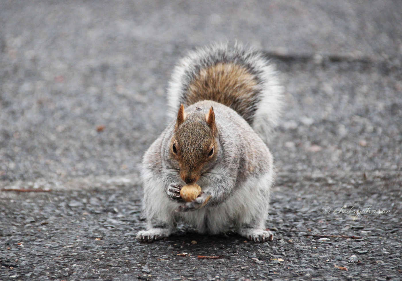 A Big Squirrel Requires Big Nuts For The Storage Of Winter Fat. This Big Squirrel Has A Head Start On Winter.