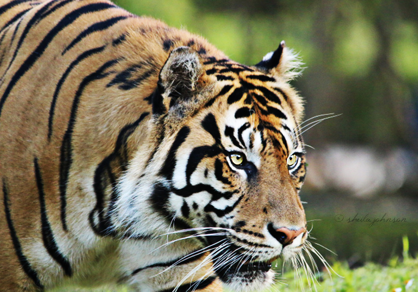 Here Again Is Berani, The Male Sumatran Tiger Who Lives At Zoo Miami. One Of The Best Features Of Zoo Miami Is That Most Animal Habitats Are Not Actually Enclosed. They're Surrounded By Motes Which Keep The Animal Exhibits Protected, But The Animals Themselves Are Uncaged.
