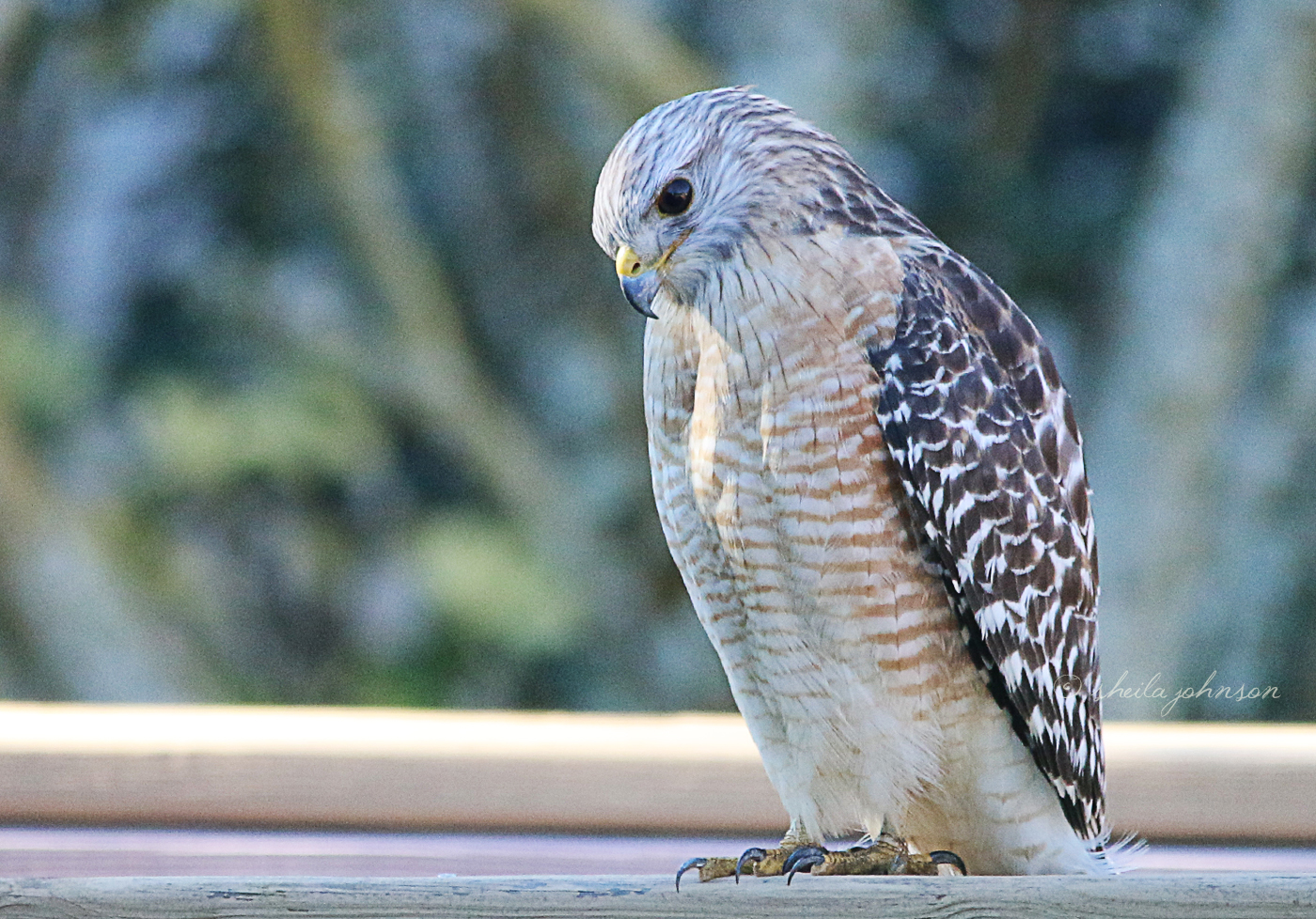 A Red-Shouldered Hawk Wonders If It's Worth Its Energy To Go After A Juicy Worm.