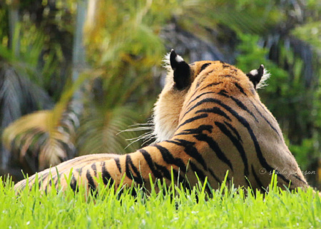 As the quote goes, 'The tiger does not concern himself with the opinions of sheep.' Clearly, this Sumatran tiger, Berani, a male, thinks Zoo Miami visitors are sheep, because he couldn't care less that we are waiting for him to turn around.