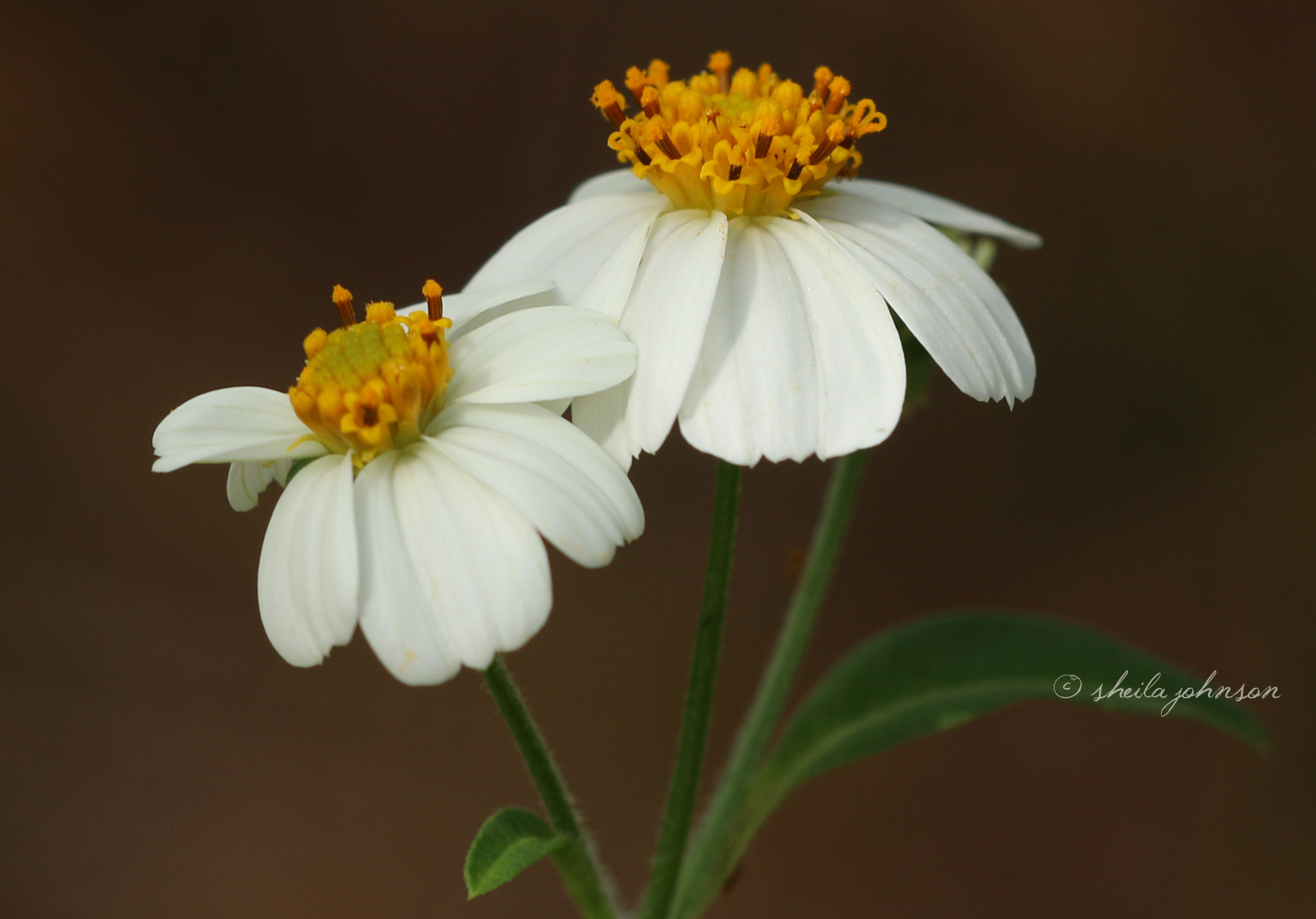 This Is Bidens Alba, Commonly Known As Spanish Needles. Though It Looks Like A Daisy (And I Call Them Daisies), They're Actually In The Aster Family Of Flowers.