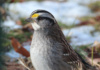 With A Name Like 'white-Throated Sparrow,' I Expected A Rather Dull-Looking Fellow. Surely, The Little Yellow Spots By Their Eyes Are Deserving Of Mention In Their Moniker, Mr. Namer Of Bird Species!?