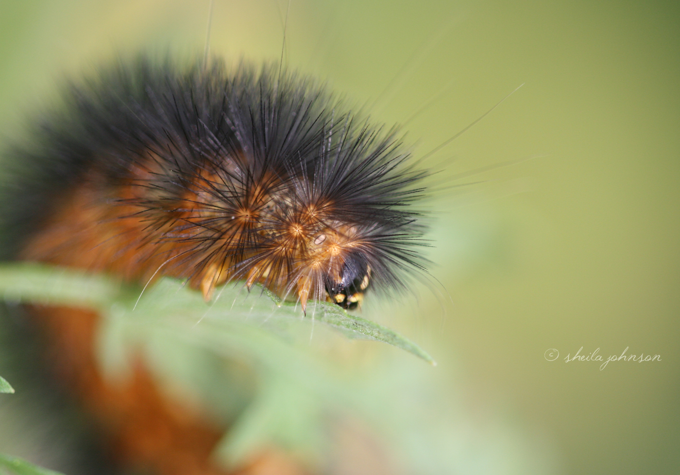 The Banded Woolly Bear Caterpillar Isn't Always Banded, But (Presuming It Gets To Adulthood) It Always Turns Into An Isabella Tiger Moth.