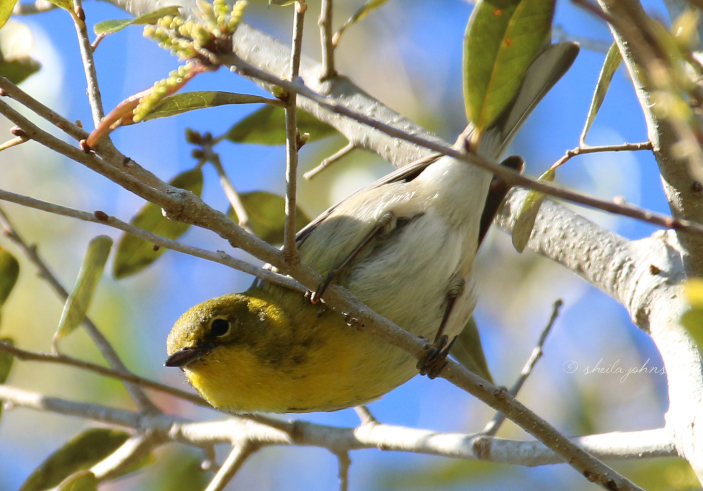 A Florida Winter Visitor, This Yellow-Throated Vireo Sits Still For Just An Instant -- That's Long Enough To Capture The Shot!