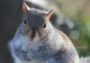 This Gray Squirrel Is So Cute And Hard To Resist. Sadly, I Has No Nuts To Give You, Big Guy. It Looks Like Someone Else May Have Shared Alllll Their Nuts With You Already!